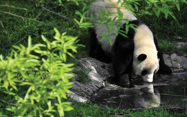 Qing Cheng Mountain China Panda