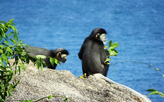 Ninh Van Bay Vietnam Sustainability Black_Shanked_Langur