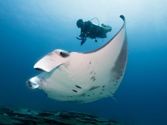 laamu maldives Haisham Rasheed scans a wild reef manta ray